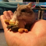 12 Cara efektif untuk menjinakan hamster galak