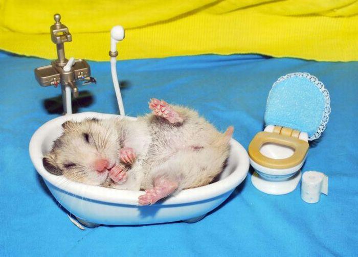 hamster mandi