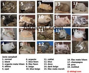 jenis hamster campbel