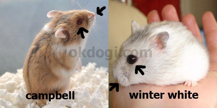 perbedaan campbell dan winter white