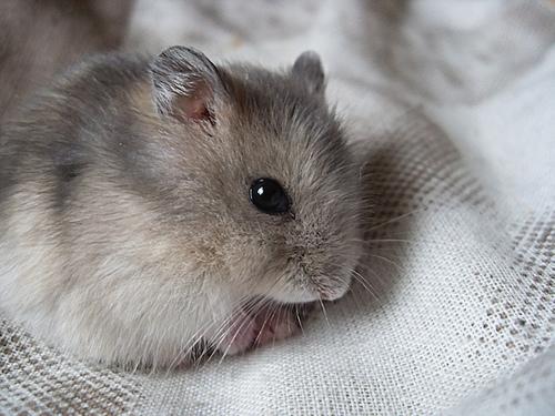 sapphire hamster