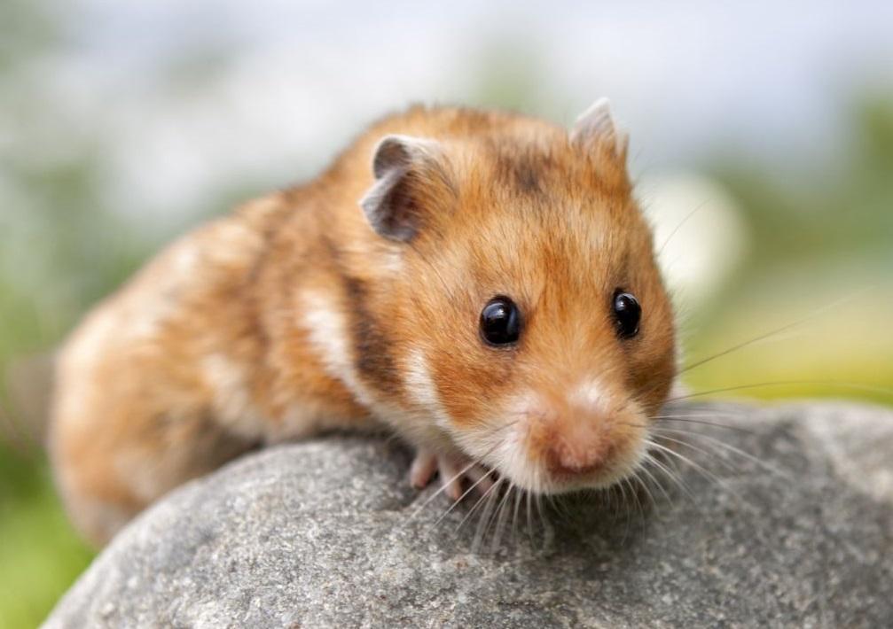 jenis syrian hamster