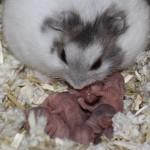 Cara jitu sukses ternak hamster, tutorial lengkap!