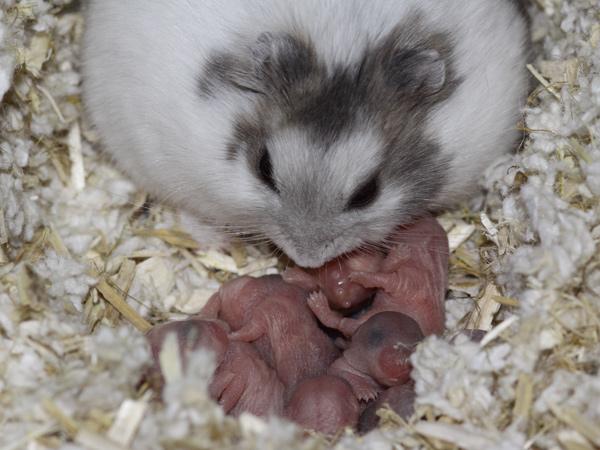 serbuk kayu hamster