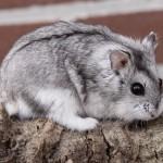 Mengupas semua hal tentang hamster campbell