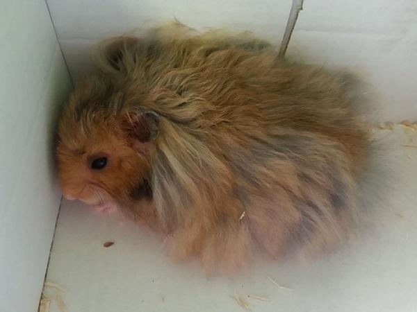 hamster anggora