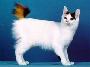 Ras kucing japanese bobtail