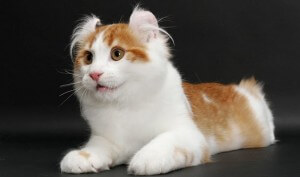 Ras kucing american curl