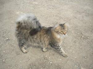 Ras kucing American ringtail