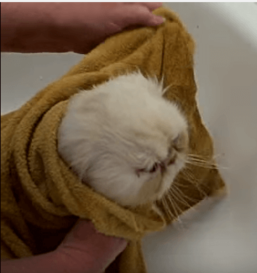 keringkan bulu kucing