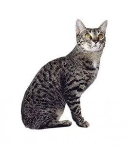 Ras kucing California spangled