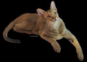 Ras kucing chausie