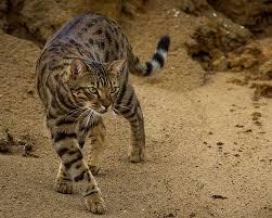 Ras kucing cheetoh