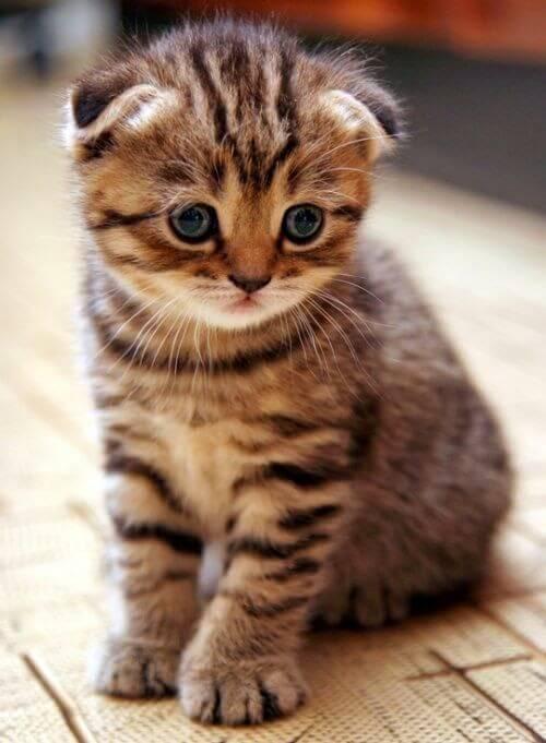 37 Jenis Kucing Ras Yang Paling Lucu LENGKAP