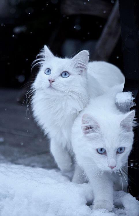 kucing anggora 1