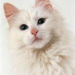 Mengenal kucing anggora yang luar biasa