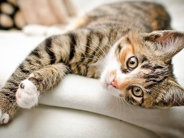 perawatan kucing domestik