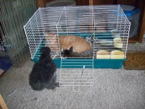 Mengawinkan kucing dalam satu kandang