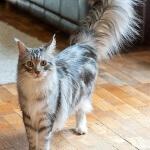 Ingin beli kucing maine coon? baca artikel ini dulu
