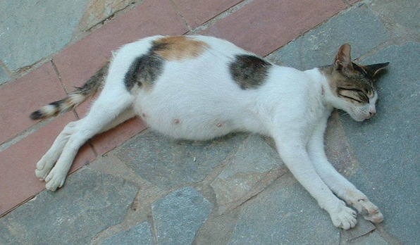 kucing mengandung