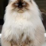 Wajib anda ketahui dari kucing persia himalaya
