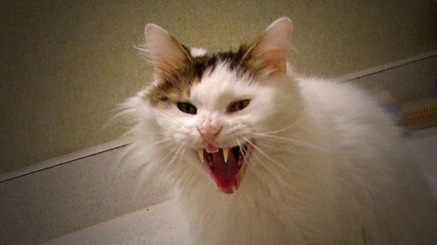 kucing rabies
