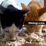 Pilih makanan basah atau kering untuk kucing? Simak!