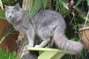 Ras kucing Nebelung