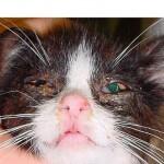 Faktor penyebab kucing sakit mata dan solusinya