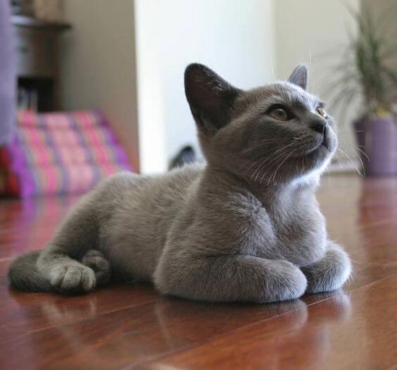 37 Jenis Kucing Ras Yang Paling Lucu Lengkap Okdogi Com