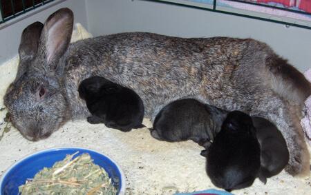 Bayi kelinci menyusui induk