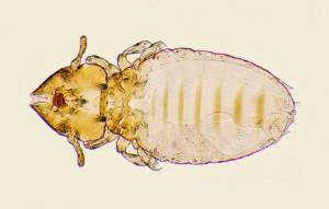 Felicola subrotratus Anoplura