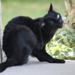 Pastikan kucing anda bebas dari kutu kucing!