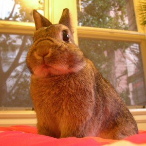 netherland rabbit