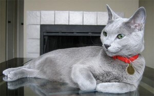 Ras kucing russian blue