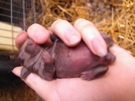 bayi kelinci berumur 3 hari