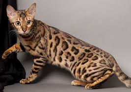 Ras kucing bengal