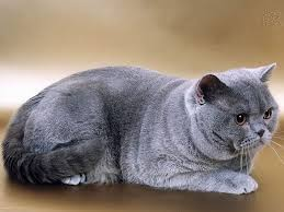 ras kucing british shorthair