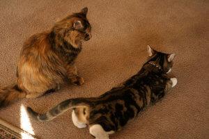 ciri kucing mau kawin