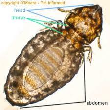 Felicola subrotus molopaga