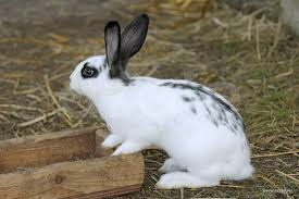 gotland rabbit