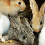 32 Jenis kelinci yang wajib anda tau, KOMPLIT!!!