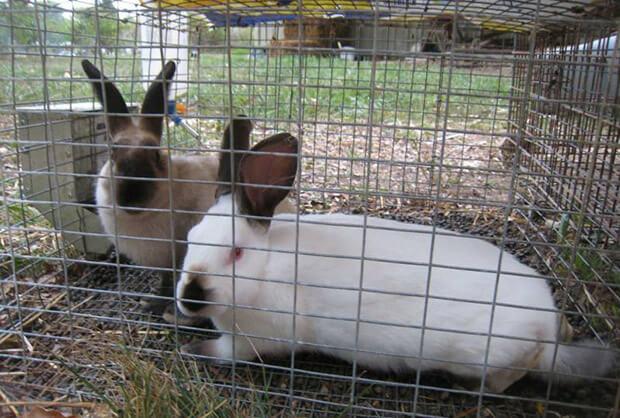 kandang pasangan kelinci