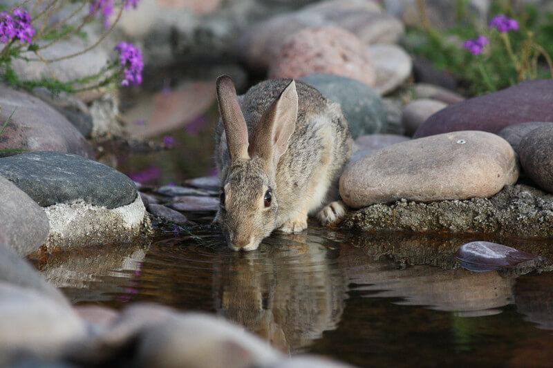 kelinci minum