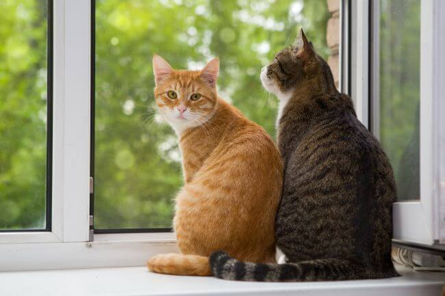 kucing ingin mendapat perhatian kucing lain atau manusia