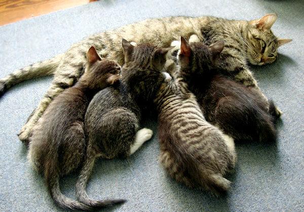 Daya tahan tubuh bersumber dari air susu induk kucing