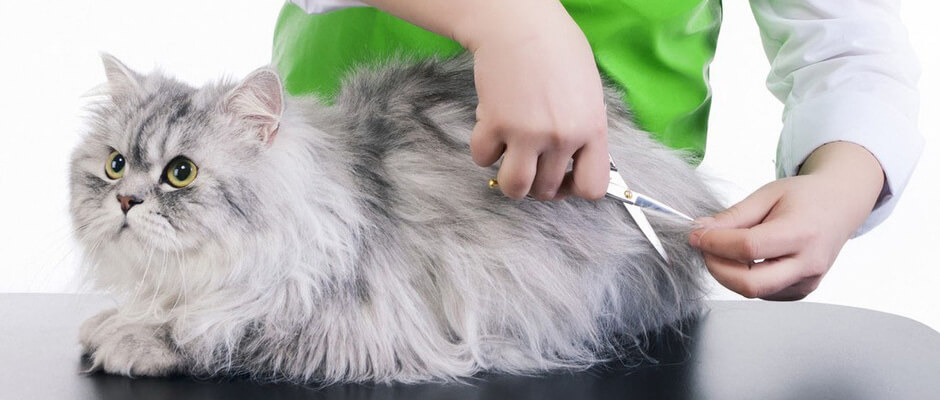 kucing persia grooming