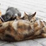 Persiapan masa kucing kawin, hamil dan melahirkan