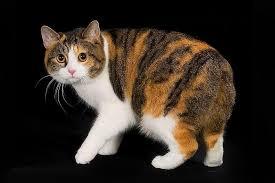 Ras kucing manx