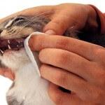 Cara simple membersihkan gigi kucing